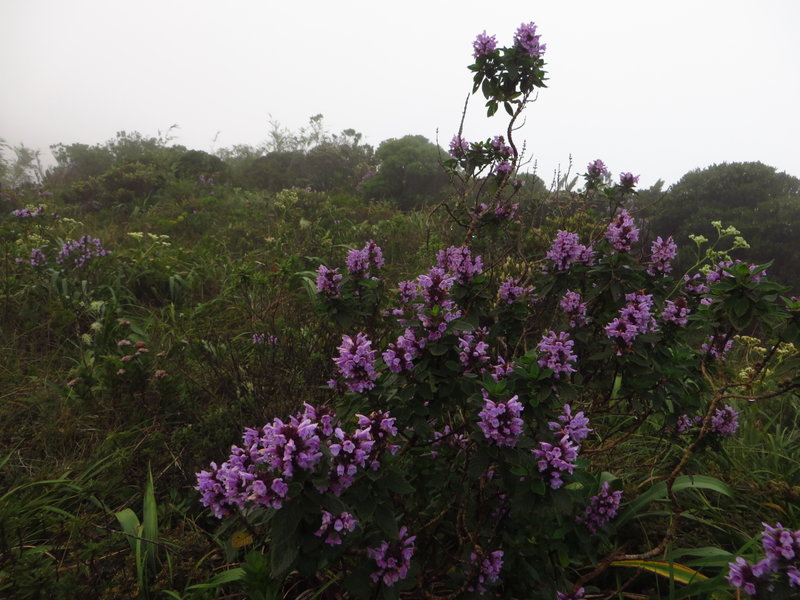 High altitudes Atlantic Forest flora