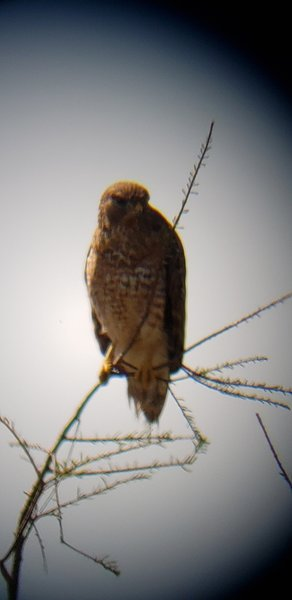 Hawks always seem to be so angry at me. Seen through telescope, but later, he let me walk by without flying away.