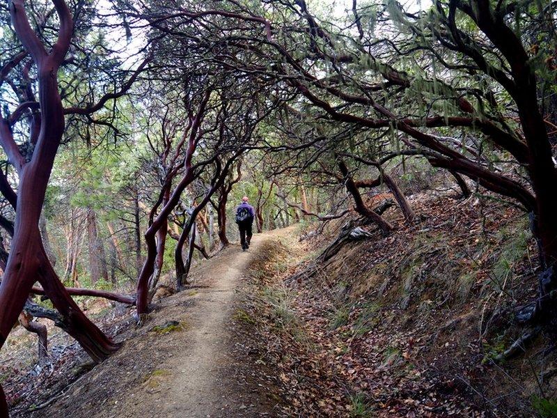 Under a canopy of manzanita along the Layton Ditch Trail.