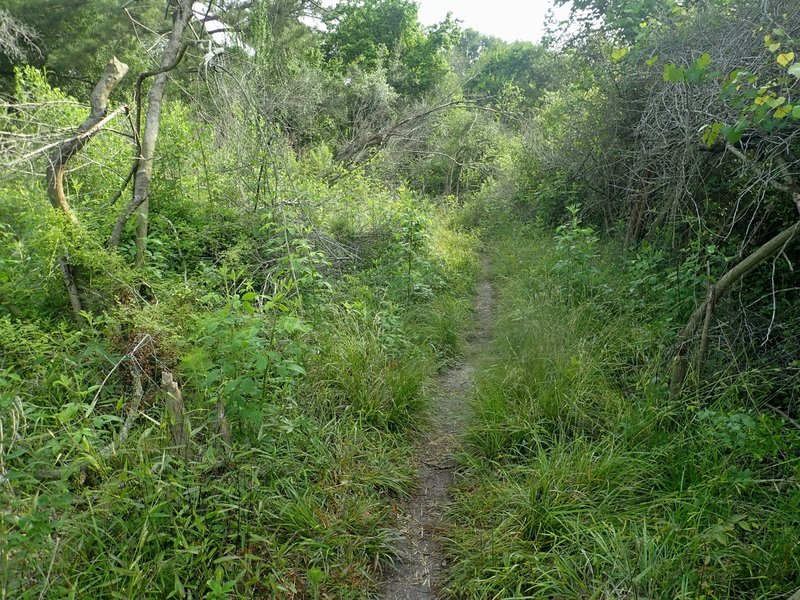 Wise-Fox trail through the brush north of Clay Road. The further north you go, the more it becomes open woodland.