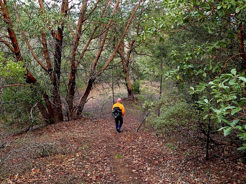 Through a madrone forest along the Witcome Trail.