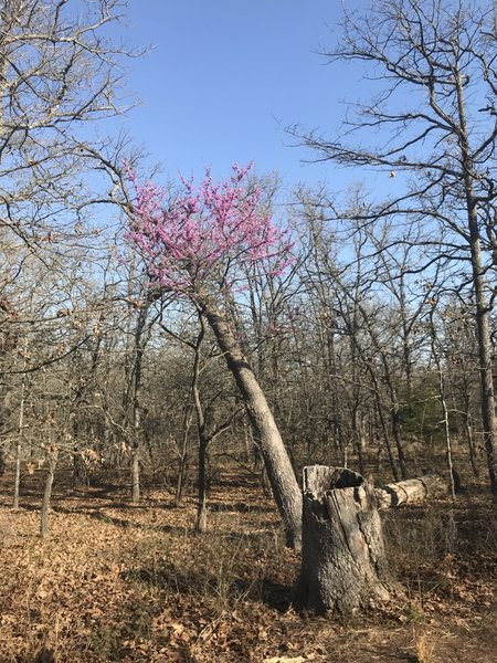 Springtime redbud blooms