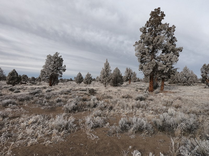 Frost covered junipers along Dry River Trail (12-29-2020)