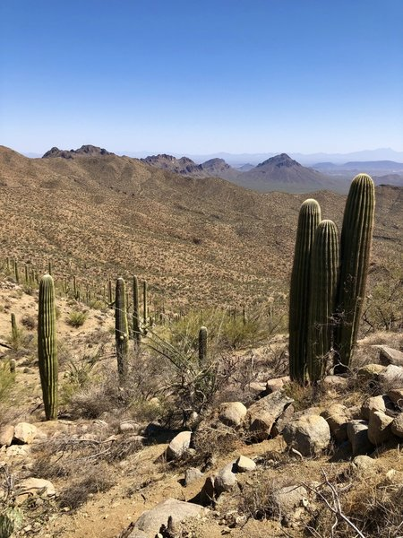 Saguaros dotting the Arizona desert-scape on a cloudless day.
