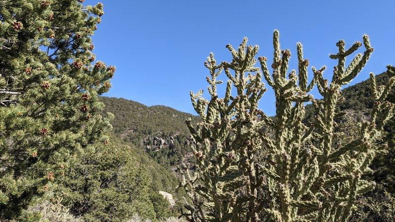 Pinyon pine and cholla