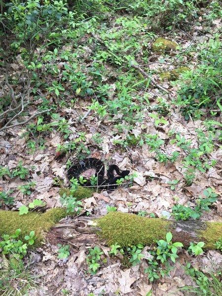 Timber Rattlesnake along AFT