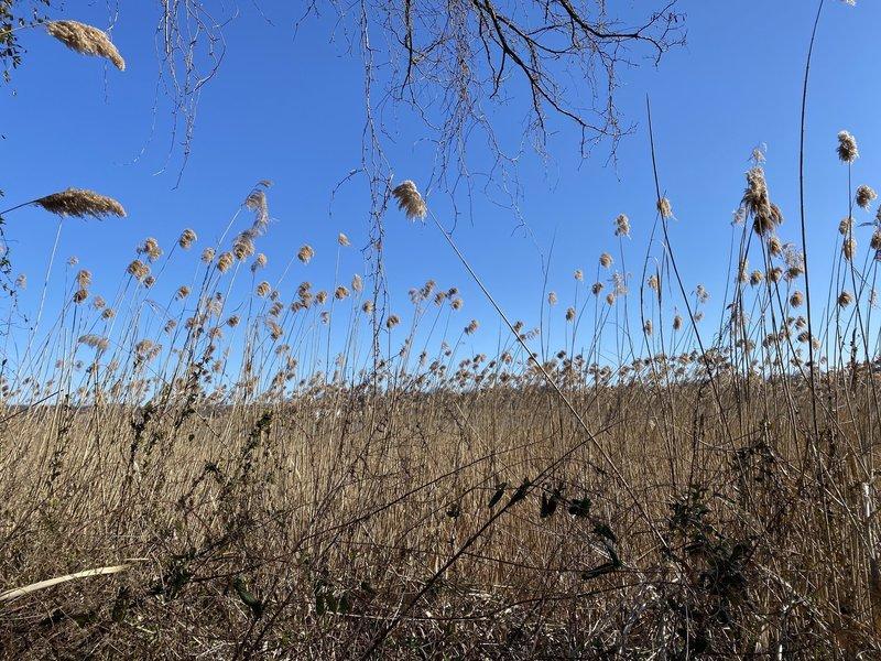 Peaceful Reeds