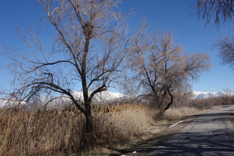 Jordan River trail in winter. Note the two nests, one big and one much smaller directly above it.