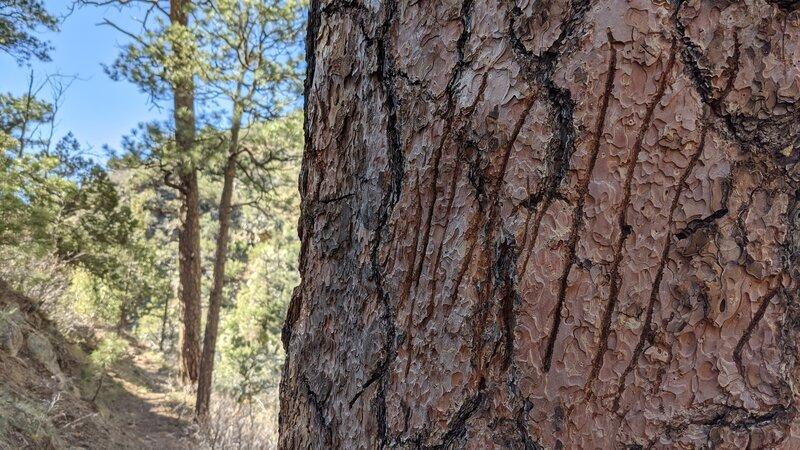 Bear sign - claw marks