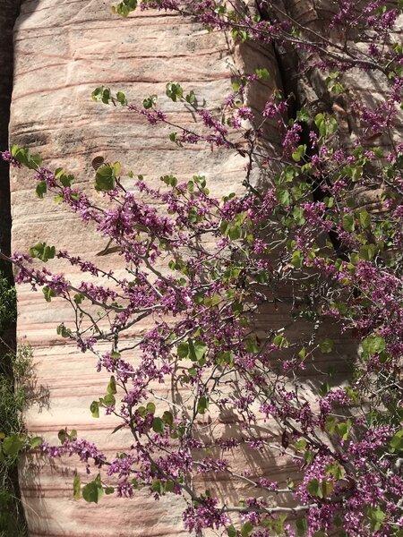California Redbud - spring blooms