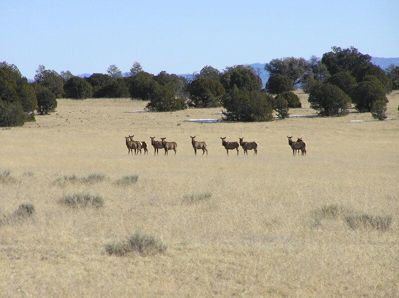 Elk herd on North Mesa (12-26-2006)