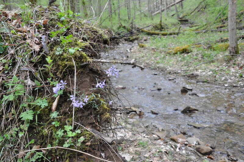 Stream and Phlox at the camping site.