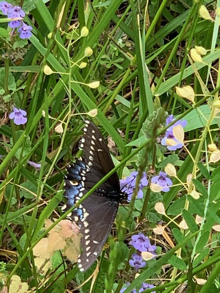 Butterfly on the native wild flowers.