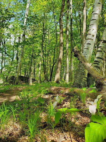 Trillium in front of birch trees.