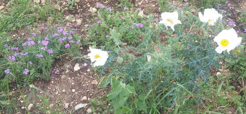 prickly poppy and sand verbena along the Red Trail.