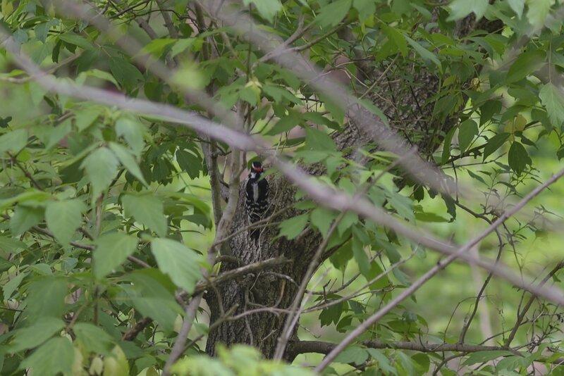Wookpecker at Taylor creek