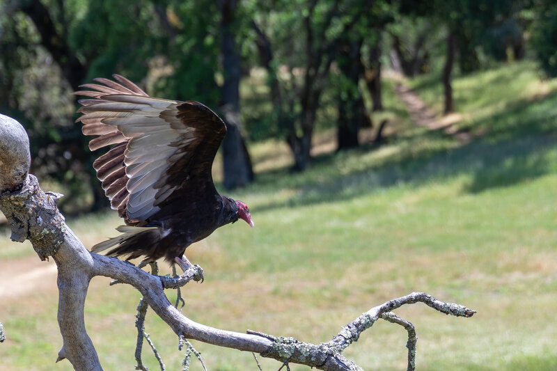 A Turkey Vulture in Pleasanton Ridge Regional Park.