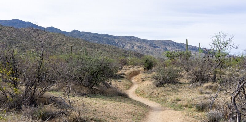 A trail through the lowland desert beneath the Rincon Mountains.