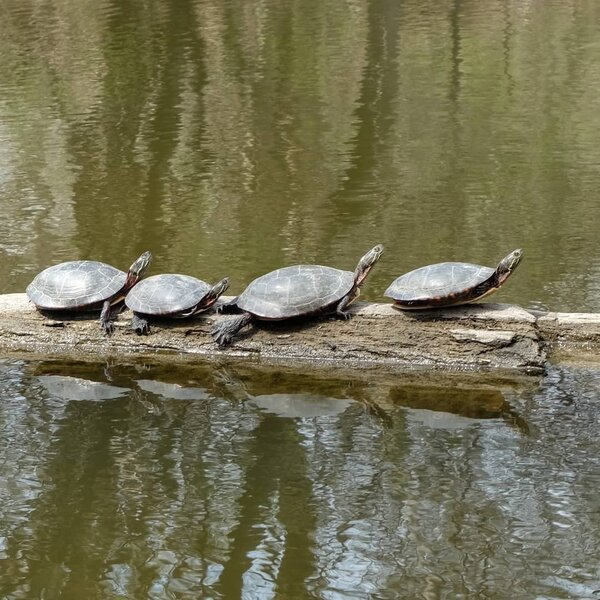 Painted turtle in the creek.