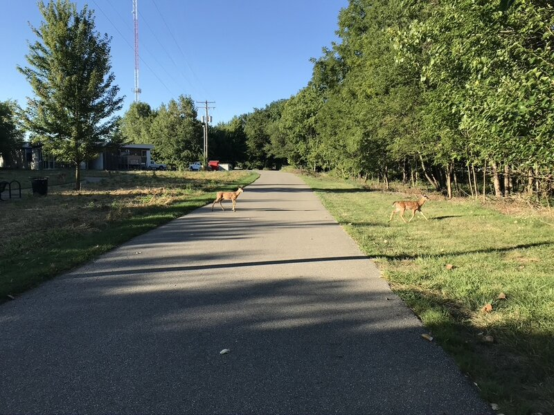 Deer crossing Olentangy Trail access to Ackerman Road through Ohio State's Olentangy River Wetlands Research Park.