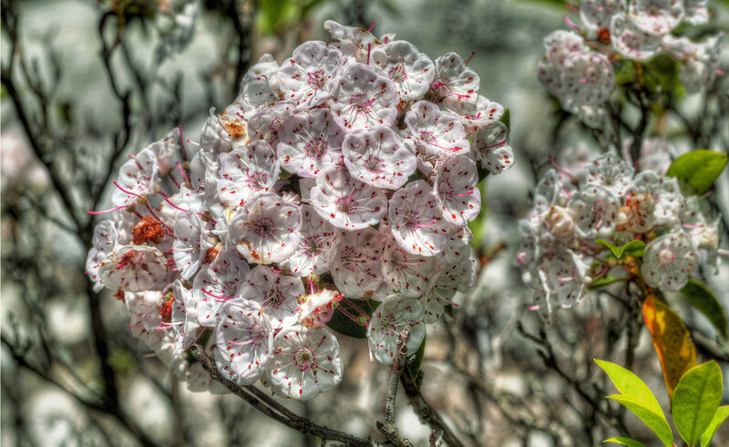 A few late blooming Mountain Laurel near the crest of the Devil's Marble Yard Belfast hiking trail.