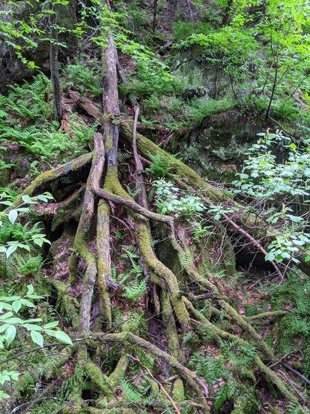 Gorgeous tree roots through the glen