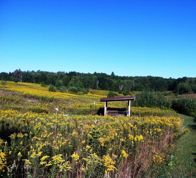 Goldenrods in bloom near the prairie platform.