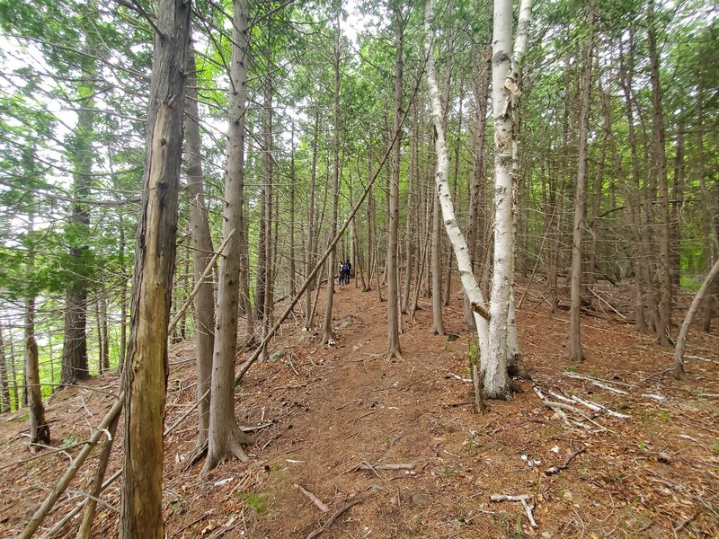 Trail goes through a bare forest floor.
