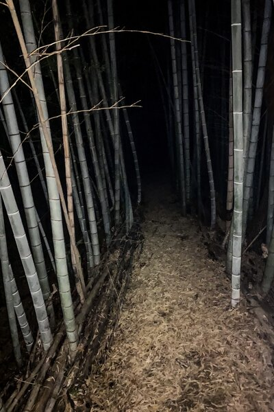 The bamboo forest after dark