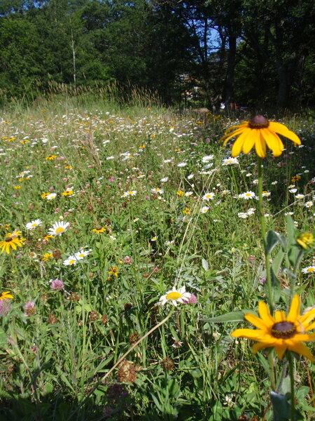 Prairie Flowers along the Deer Trail.