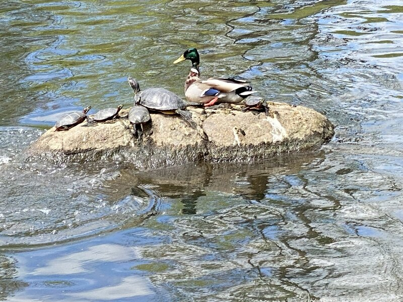 Young turtles are a familiar sight at the Orange Reservoir.