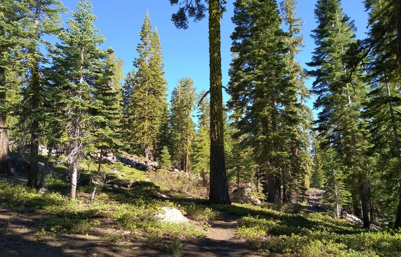 Prospect Peak is a relatively mildly sloped ancient shield volcano, now beautifully forested with firs and bright green pinemat manzanita ground cover.