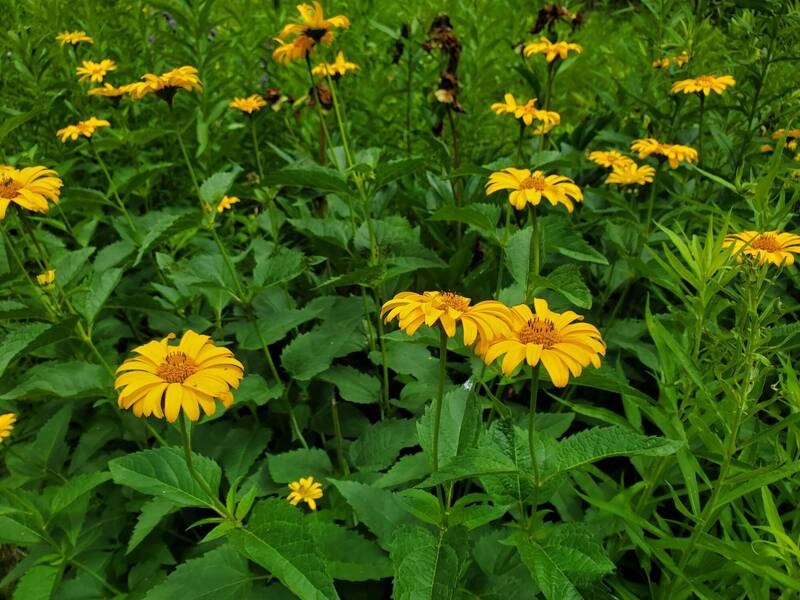 Yellow wildflowers in Garden Trail