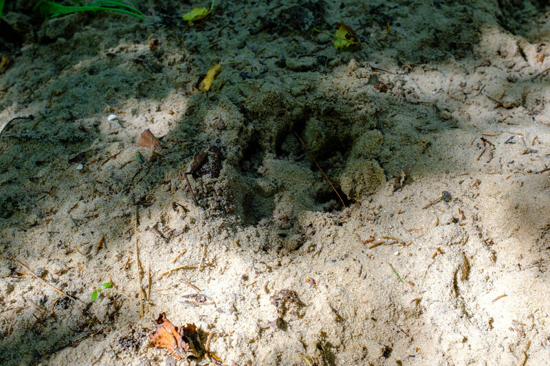 An animal footprint - a reminder that wildlife crosses the trail.