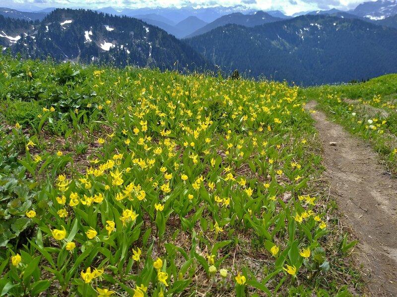 Glacier lilies high on Pilot Ridge Trail in mid July.