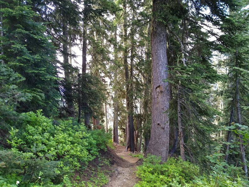 Beautiful, sunlit, forested hillside that Little Wenatchee River Trail switchbacks up to get to the high country.