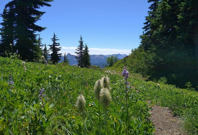Pretty wildflowers - white pasque flower seed heads and purple lupine, high on Wenatchee Ridge Trail.
