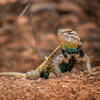 The awesome Desert Spiny Lizard!