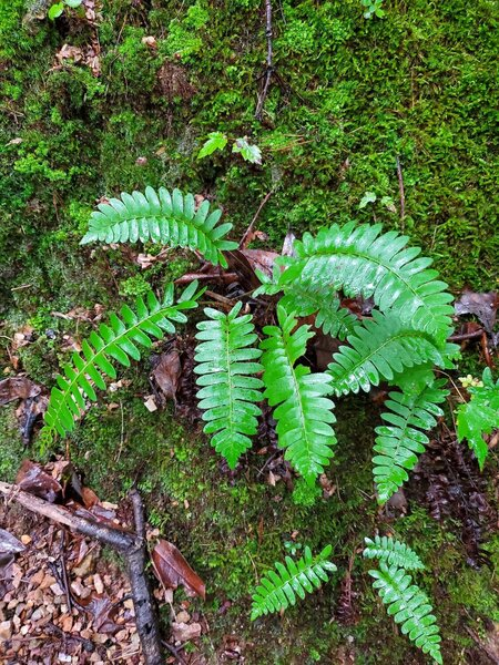 You'll find wild ferns in the more shaded wet sections of the trail.