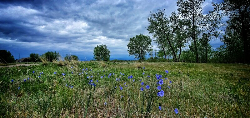 Wildflowers along MCKAY LAKE trail during the late spring of 2020.