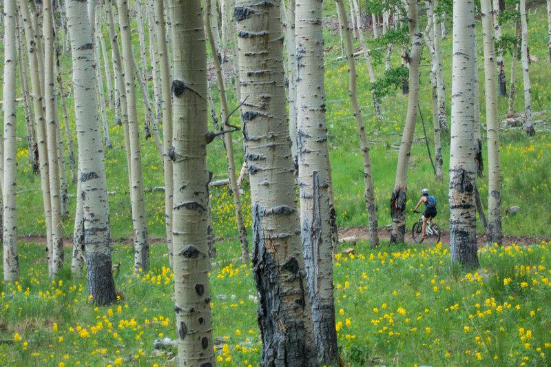 Aspen groves near the top of Mason Creek Trail