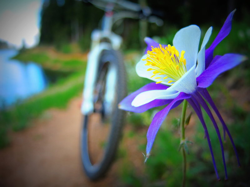 In the summer the flowers along the trail are awesome. The Rocky Mountain Columbine was designated the official state flower of Colorado in 1899 after winning the vote of Colorado's school children.