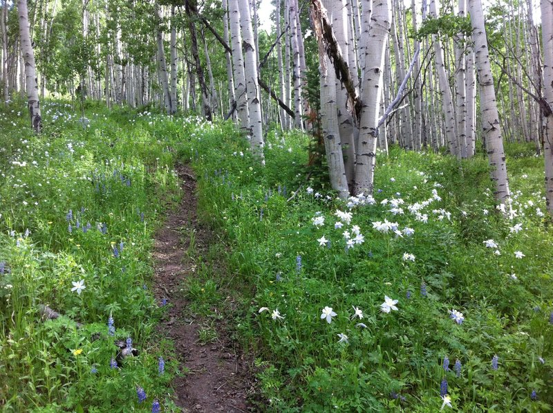Hundreds of thriving columbine flowers at the bottom of the Buttermilk Bowls trail