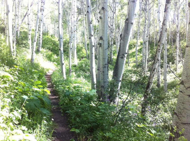 Singletrack through an aspen grove, just uphill from the Funicular that serves the Pines neighborhood during winter.