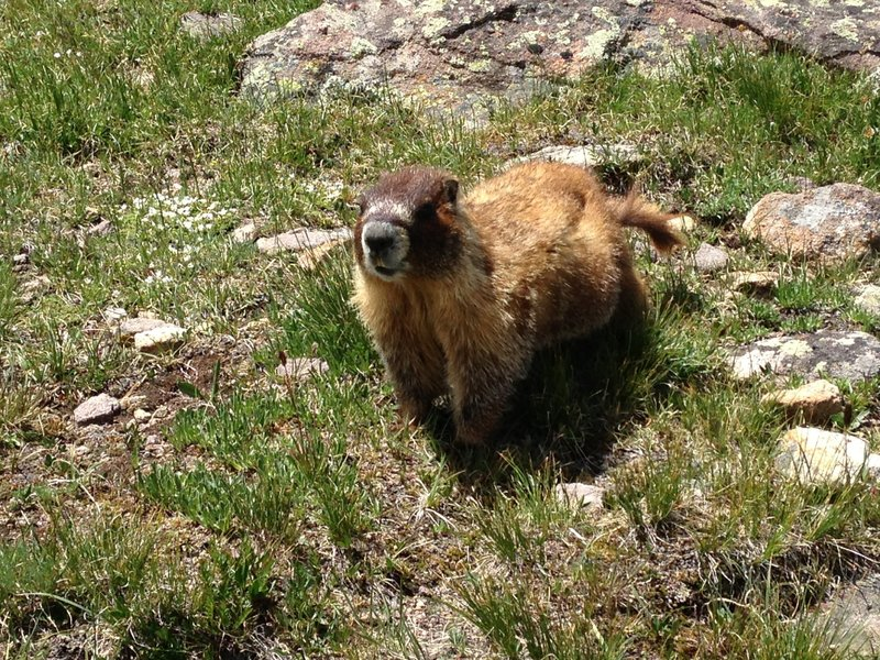 Friendly marmot at the top of Searle Pass.