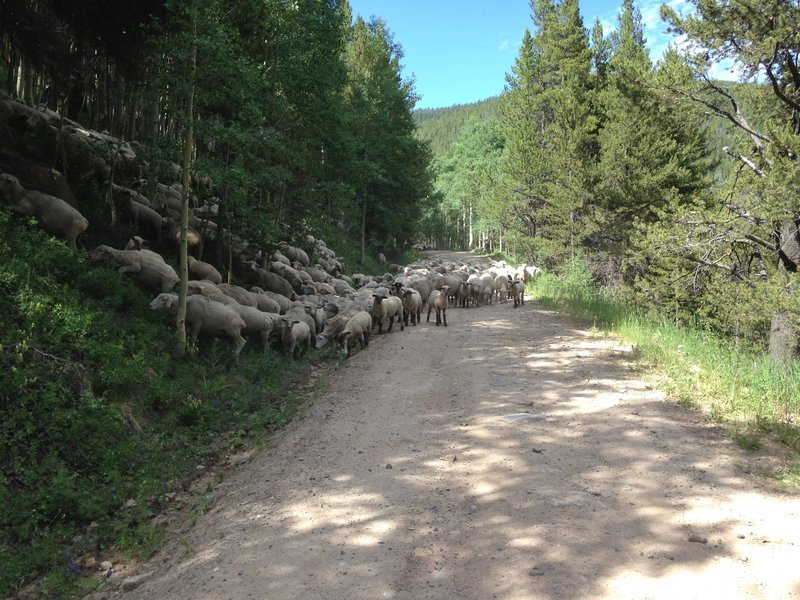 Lookout for the sheep on Resolution Rd.!