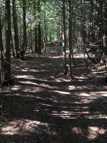 Shaded cedar grove on Barking Frog Loop