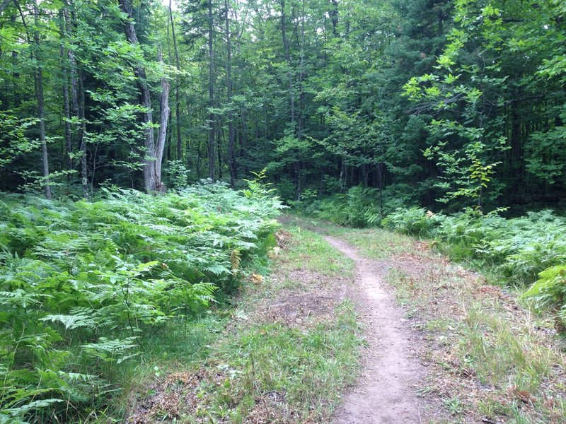 Fern meadow on Ent Loop at Tech's Tolkien Trails.