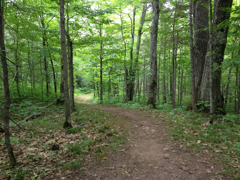 Large twinned oak on Elf Loop at Michigan Tech's Tolkien Trails.