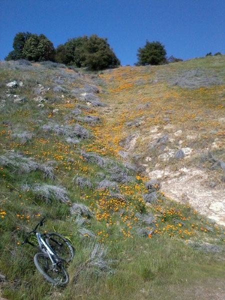 Field of Poppies, East Cuesta Ridge